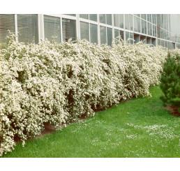 Spiraea vanhouttei / Tavolník van Houtteův, bal. 10 ks K9 na živý plot