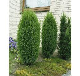 Juniperus communis ´Hibernica´ / Jalovec obecný, 15-20 cm, K9