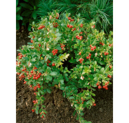 Vaccinium vitis-idaea ´Koralle´ / Brusinka pravá, 10-15 cm, K9