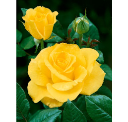 Rosa ´Mabella´ / Růže čajohybrid jemně žlutá, keř, BK