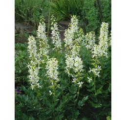 Dictamnus albus ´Albiflorus´ / Třemdava bílá, C1,5