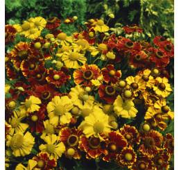 Helenium autumnale ´Red´ / Záplevák podzimní, K9