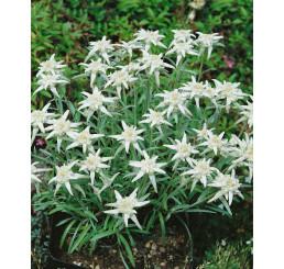 Leontopodium alpinum ´Everest´ / Protěž alpská, C1,5
