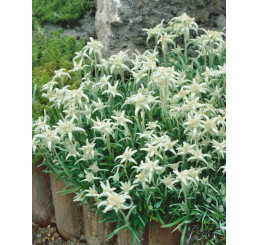 Leontopodium alpinum ´Everest´ / Protěž alpská, K9