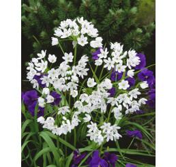 Allium ´Cowanii´ / Okrasný česnek neapolský, bal. 15 ks, 5/+