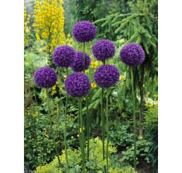 Allium giganteum / Česnek obrovský, 20/+