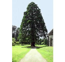 Sequoiadendron giganteum / Sekvojovec obrovský, 40-50 cm, C3