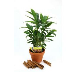 Elettaria cardamonum / Kardamon pravý se skořic. aroma, 20-30 cm, K12