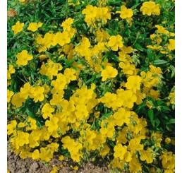 Helianthemum hybrida ´Golden Queen´ / Devaterník, K9