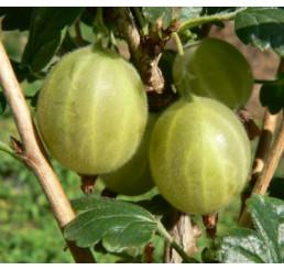 Ribes grossularia ´Hinnonmaki Gelb´ / Angrešt rezistentní žlutý, keř, C2