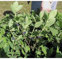 Lonicera kamtschatica / Kolekce 3 zimolezů kamčatských, 3 rostliny, 3x K9