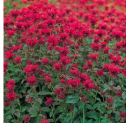 Monarda ´Panorama Red Shades´ / Zavinutka, C1