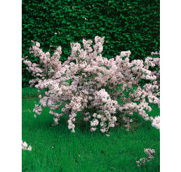 Deutzia rosea / Trojpuk růžový, 30-40 cm, C1,5