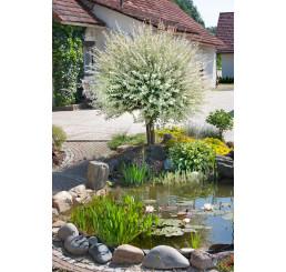 Salix integra ´Hakuro Nishiki´ / Vrba japonská, 120 cm kmínek, C5