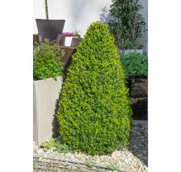 Buxus sempervirens / Zimostráz obecný, 12-15 cm, K9