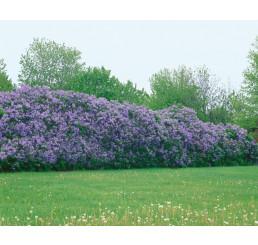 Syringa vulgaris / Šeřík obecný, bal. 10 ks VK na živý plot