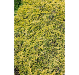 Juniperus horizontalis 'Golden Carpet' / Jalovec, C3
