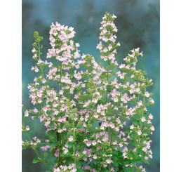 Calamintha nepeta ssp. Nepeta / Marulka šantovitá, K9