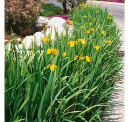 Iris pseudacorus / Kosatec žlutý , K9