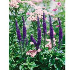 Veronica spicata ´Royal Candles´ / Rozrazil klasnatý, C1,5