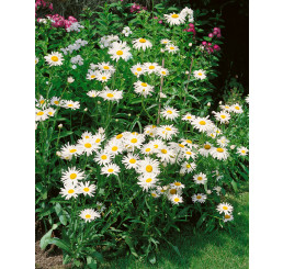 Leucanthemum vulgaris ´Maikönigin´ / Kopretina bílá , K9