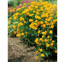 Heliopsis helianthoides ´Summer Sun´/ Janeba drsná žlutá, K9
