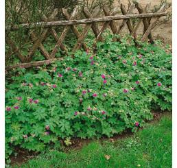 Geranium cantabrigiense ´Karmina´/ Kakost tmavě růžový, K9