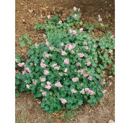 Geranium cantabrigiense ´Biokovo´ / Kakost, K9