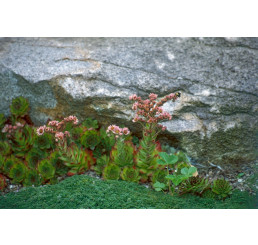 Sempervivum montanum / Skalnica / Netřesk horský, K9
