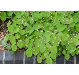 Epimedium pubigerum / Škornice, K9