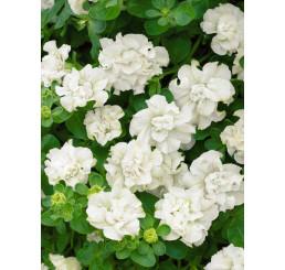 Petunia ´Double White Surfinia´® / Petunie plnokvětá bílá, K7