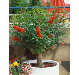 Erythrina crista-galli / Zarděnice / Korálový keř, bal. 3 s