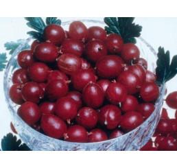 Ribes grossularia ´Pax®´ / Angrešt červený rezistentní beztrný, keř