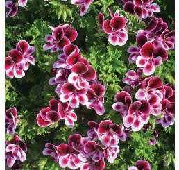 Pelargonium duft ´pac®Angels Perfume´ / Muškát vonný, K7