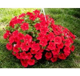 Petunia ´Plus Red´ / Petunie červená jednoduchá, bal. 6 ks, 6x K7