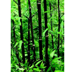 Phyllostachys nigra/ Pabambus černý, 40-50 cm, C2