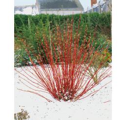 Cornus alba ´Sibirica´ / Svída bílá / Dřín, 40-50 cm, C2