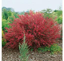 Cytisus ´Booscop Ruby´ / Čilimník červenožlutý, 30-40 cm, C1