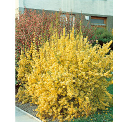 Forsythia interm. ´Lynwood Gold´ / Zlatice, 20-30 cm, K12