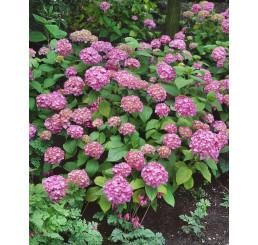 Hydrangea macrophylla ´Bouquet Rose´ / Hortenzie velkolistá , C2