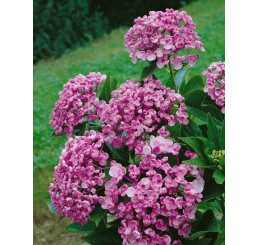 Hydrangea macrop. ´Ayeshia´ / Hortenzie velkolistá, 30-40 cm, C2