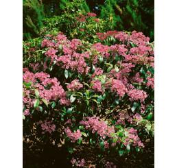 Kalmia latifolia / Mamota širokolistá, 25-30 cm, KB