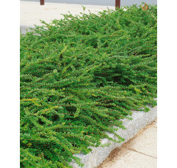 Lonicera pileata ´Moss Green´  / Zimolez fialový, 20-30 cm, K12