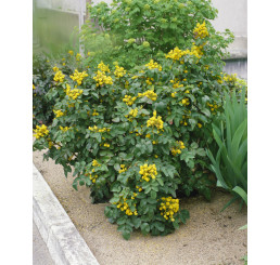 Mahonia aquifolium / Mahónie cesmínolistá, 20-30 cm, C2