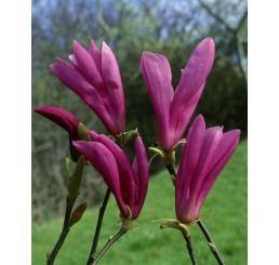 Magnolia ´Susan´ / Šácholan / Magnólie, 40-60 cm, C1,5