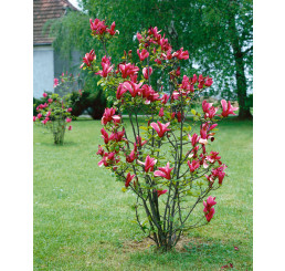 Magnolia liliflora ´Nigra´ / Šácholan liliokvětý, 50-60 cm, C5