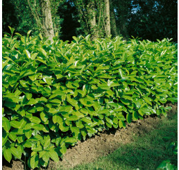 Prunus laur. ´Rotundifolia´ / Bobkovišeň lékařská, 20 - 30 cm, K9