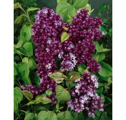 Syringa vulgaris ´Paul Thirion´ / Šeřík, 60-80 cm, C3