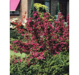 Weigela florida ´Bristol Ruby´ / Vajgélie květnatá, 20-30 cm, K12