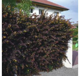 Berberis thunbergii ´Atropurpurea´ / Dřišťál Thunbergův, 30 - 40 cm, C1